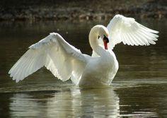 Licht Schwan Vogel Wasser