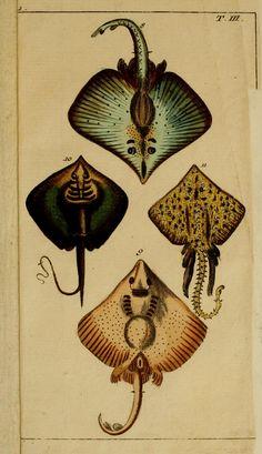 Rays. Unterhaltungen aus der Naturgeschichte : Der Fische 1.[-2.] Theil. v.1  Augsburg :Engelbrecht,1799-1800.  Biodiversitylibrary. Biodivlibrary. BHL. Biodiversity Heritage Library