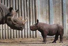"""Résultat de recherche d'images pour """"rhinocéros noir"""""""