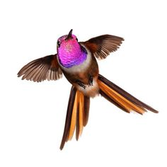 This is an Inaguan Lyretail (Calliphlox evelynae lyrura). This hummingbird only lives on a couple of islands in the Bahamas and was thought to be a subspecies of the Bahama Woodstar.  The research team I was a part of discovered it was in fact a separate species because of its genetic makeup and morphological differences. Take a close look at the tail and compare it to the previous image of the Bahama Woodstar.  Notice how the feathers are narrower and longer.  The bird actually produces…
