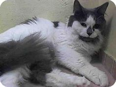 Brooklyn, NY - Domestic Longhair. Meet BETTY-LOU, a cat for adoption. http://www.adoptapet.com/pet/11421542-brooklyn-new-york-cat