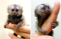 The Pygmy Marmoset or Dwarf Monkey is one of the smallest primates and ties with the Slender Loris for smallest monkey