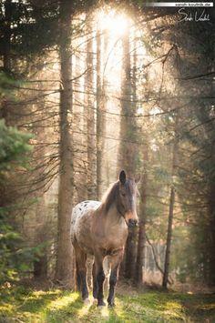 Fotoshooting mit Pferd im Wald bei Sonnenuntergang   Appaloosa Atlas   Pferdefotografie München