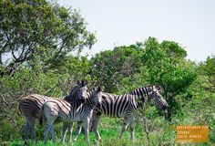 Zebras Keeping Close to One Another - South Africa