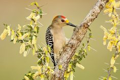 Barbara Baird's gorgeous shot of a Golden-fronted Woodpecker at Laguna Seca Ranch was named one of the top 100 shots of this year's #AudubonPhotographyAwards. ⠀ ⠀ Click the link in our bio to view the other photos from the 2017 Audubon Photography Awards Top 100 List. ⠀ ⠀ ⠀