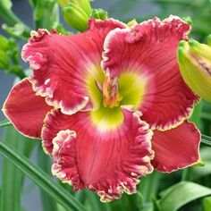 the Lily Auction - The Fun Daylily Marketplace - $25 height 27in (69cm), bloom 6.25in (16.0cm), season EM, Rebloom, Semi-Evergreen, Tetraploid, Fragrant, 30 buds, 4 branches,  Electric crimson base with a lighter halo and green throat finished with ruffled white yellow edges. ((Cimarron Rose × Gilded Scarlet) × Great Balls of Fire)