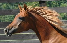An Arabian Horse   This horse has very unique coloring. Description from pinterest.com. I searched for this on bing.com/images