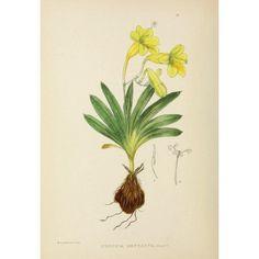 The Flowering Plants of Africa 1921 Freesia Refracta Canvas Art - KA Lansdell (24 x 36)
