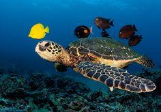 Tortuga marina caretta-caretta y peces tropicales Flora Marina, Loggerhead Turtle, Funny Animals, Cute Animals, Pet Turtle, Turtle Time, Under The Ocean, Underwater World, Sea Creatures