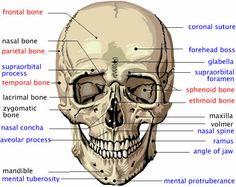 cranial bones in detail.