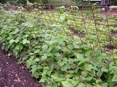 gourd trellis made with cow panels   Come enter the Lehman's Aladdin Lamp Giveaway!