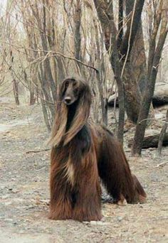 Such a beautiful dog, the Afghan Hound is truly a beauty