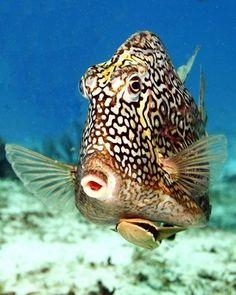 Box fish 41