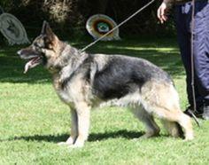 Jipsy von Haus Pe Ja Deutscher Schäferhund   Pawshake