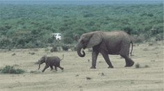 Baby Elephant Gets Reunited With His Dad. His Reaction Is Priceless... Such a Happy Little Elephant...  see all the Gifs.