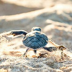 interesting cute turtles pet aesthetic distinctive : It can be a bit embarrassing to jot down the next few paragraphs, but not only due to the fact everybody discussion everyone appreciates I am a turtle. The Animals, Cute Baby Animals, Funny Animals, Sea Turtle Pictures, Cute Animal Pictures, Sea Pictures, Cute Baby Turtles, Turtle Baby, Save The Sea Turtles