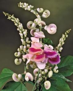 Beautifully exotic, with a fragrance like jasmine, this plant was originally discovered in Venezuela.  Corkscrew-shaped buds open to flowers in lovely shades of violet, pink, yellow and cream.