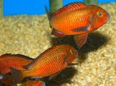 Tropheus Ndole Bay Red....I breed these lovelies, and they are so rewarding.