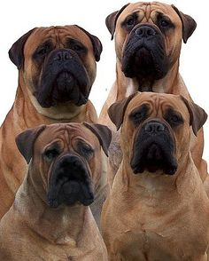 Bull Mastiffs that's really all to say! I need another one!