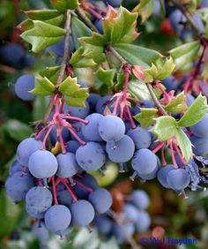 Darwin's Barberry (Berberis darwinii) is an edible fruit but quite acidic