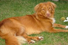 An active and fun loving dog, the Nova Scotia Duck Tolling Retriever is not only favored by hunters but by energetic families as well. This well-rounded breed is always ready for retrieving ducks, hiking, swimming, playing fetch and snuggling on the couch with his loved ones. His affectionate, loving and patient nature makes the Nova [...]