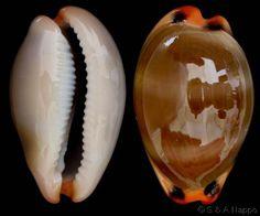 Luria lurida lurida  (Linnaeus, C., 1758) Lurid/Fallow Cowry Shell size 14 - 66 mm Mediterranean - Angola; Canaries