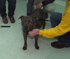 JOSEPHINE  5 years old, Female, American Pitbull Terrier, Loves to play ball, Enjoys walks