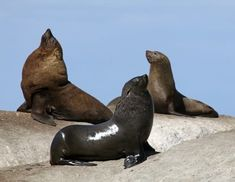 Discover Seal Island in Cape Town, South Africa: Haven for Cape Fur Seals, until the Ring of Death of jumping Great White Sharks arrives. Rabbit Island, Lifelong Friends, Great White Shark, Life Goes On, Color Of Life, Life Drawing, South Africa, Safari, Seals