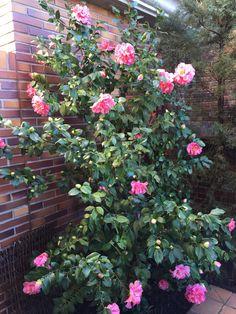 Camelia/Camellia