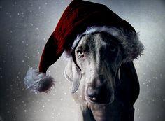 Merry Weimaraner Christmas!