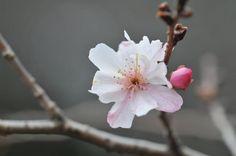 新宿御苑 十月桜 2013-3-3  JUGATSU-ZAKURA  Cerasus X subhirtella(Miq.) Masam.& S.Suzuki 'Autumnnalis'  Facebook