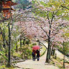 【laviedenavi_traveltheworld】さんのInstagramをピンしています。 《2014/04/07 広島市 Hiroshima 宮島 Miyajima • We took a walk around Miyajima island and found cherry blossoms  • #japan #japantravel #japantrip #japantrip2014 #travel #travelblog #travelblogger #laviedenavitra