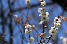 #plum, #beautiful, #white, #spring, #garden,