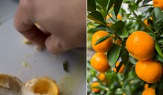 How to grow orange trees from seeds.