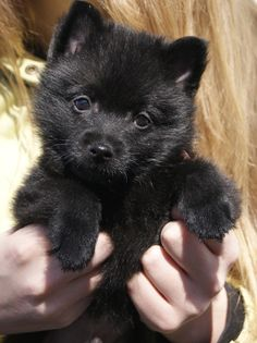 It's a black teddy bear that I just want to snuggle with!! Such a cute schipperke puppy!