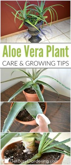 Aloe vera is a very popular plant that is best known for the healing qualities of the gel. Given the proper aloe vera plant care, these amazing plants can live for many years. #aloevera #plantcare #plants #getbusygardening