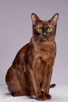Cute Kittens, Cats And Kittens, American Curl, Scottish Fold, Sphynx, Maine Coon, Burmese Kittens, Popular Cat Breeds, Getting A Kitten