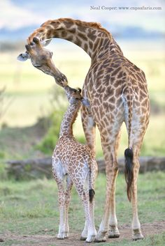 We were watching this mother Giraffe and calf in the Masai Mara when the mom bent down to the calf and licked its face.  It looked like it was giving it a kiss.  The image was taken on a photo safari with CNP Safaris.  www.cnpsafaris.com