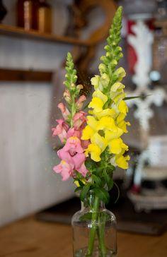 Snapdragon Lifestyle by Evanthia - Year of the Snapdragon - National Garden Bureau