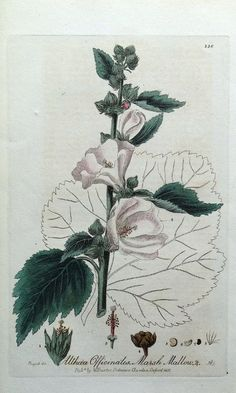 Botanical Drawings, Botanical Prints, Botanical Gardens, Antique Prints, Vintage Prints, Oxford Botanic Garden, Althaea Officinalis, Plant Bugs