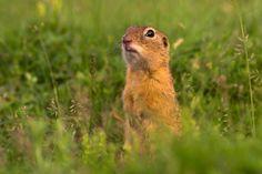 Portrait Of A Ground Squirrel Poster Ground Squirrel, Bird, Portrait, Austria, Poster, Animals, Products, Animales, Animaux