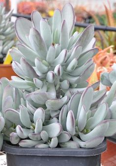 Cotyledon Silver Peak Growing Succulents, Succulents In Containers, Cacti And Succulents, Planting Succulents, Cactus Plants, Planting Flowers, Succulent Landscaping, Succulent Gardening, Sempervivum