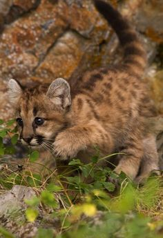 ☀Mountain Lion Cub