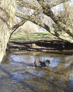 Water tester... This creek is koda approved!!!    Please follow my lovely pawtner: @boxer.paws  #koda #pomsofinstagram #dogsofinstagram #puppiesofinstagram #dogstagram #petstagram #instadog #instapuppy #instapet #pomeranian #puppy #dog #pet #happy #love #spring #sunshine #park #swimming #creek #thedailypompom #lacyandpaws #pomeranianloverpost #pomeranianworld #igpoms #dogsandpals by master.koda