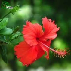 hibiscus and roses flowers bouquet - Saferbrowser Yahoo Image Search Results