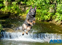 #A1K9 Wagery #familyprotectiondog jumping into the river. #GermanShepherd #Protectiondog 1