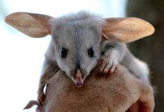Bilby, Greater Bilby - Rabbit-Eared Bandicoots from Australia Tiny Monkey, Small Lizards, Funny Parrots, Australia Animals, Quokka, Feral Cats, Animal Facts, Animal Kingdom, Koalas