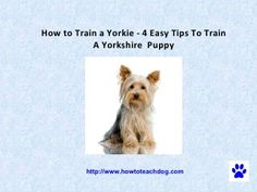 How to Train a Yorkie - 4 Easy Tips To Train A Yorkshire Puppy