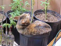 Growing tomatoes indoors in winter has it's hazards....tomato cat