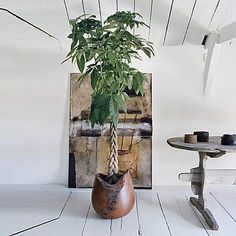 The Pachira - - Indoor Trees, Indoor Plants, Money Tree Plant Care, Feng Shui, Pachira Aquatica, Easy To Grow Houseplants, Normal House, Shed Interior, Plants Delivered